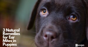 3 Natural Remedies for Ear Mites in Puppies